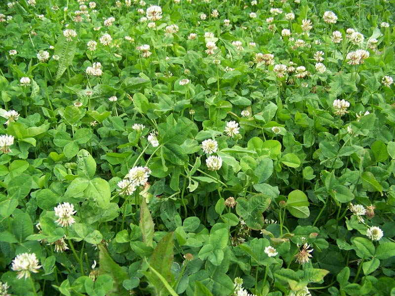 Image result for clover chicory mix