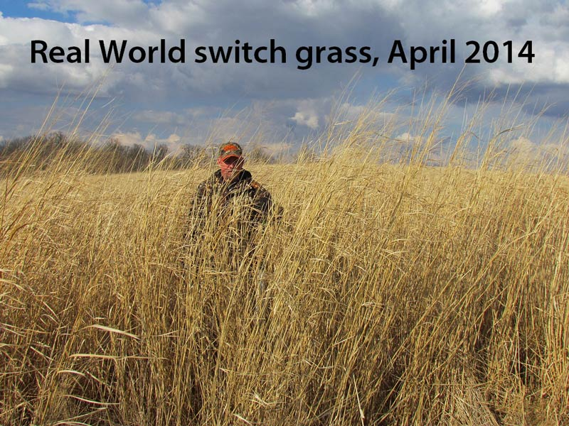 switchgrass-pic-rw