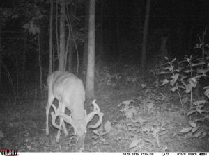 A giant buck with a Massive rack eating custom deer minerals