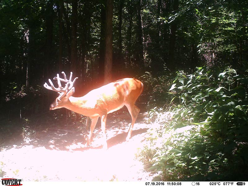 Trail camera picture of big buck eating