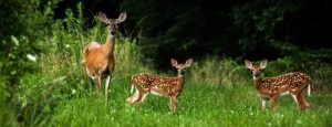 Picture of a Whitetail Doe and two buck fawns at a deer mineral site eating Real Worlds Maximizer Plus Deer Mineral which is formulated to have the best minerals for deer.