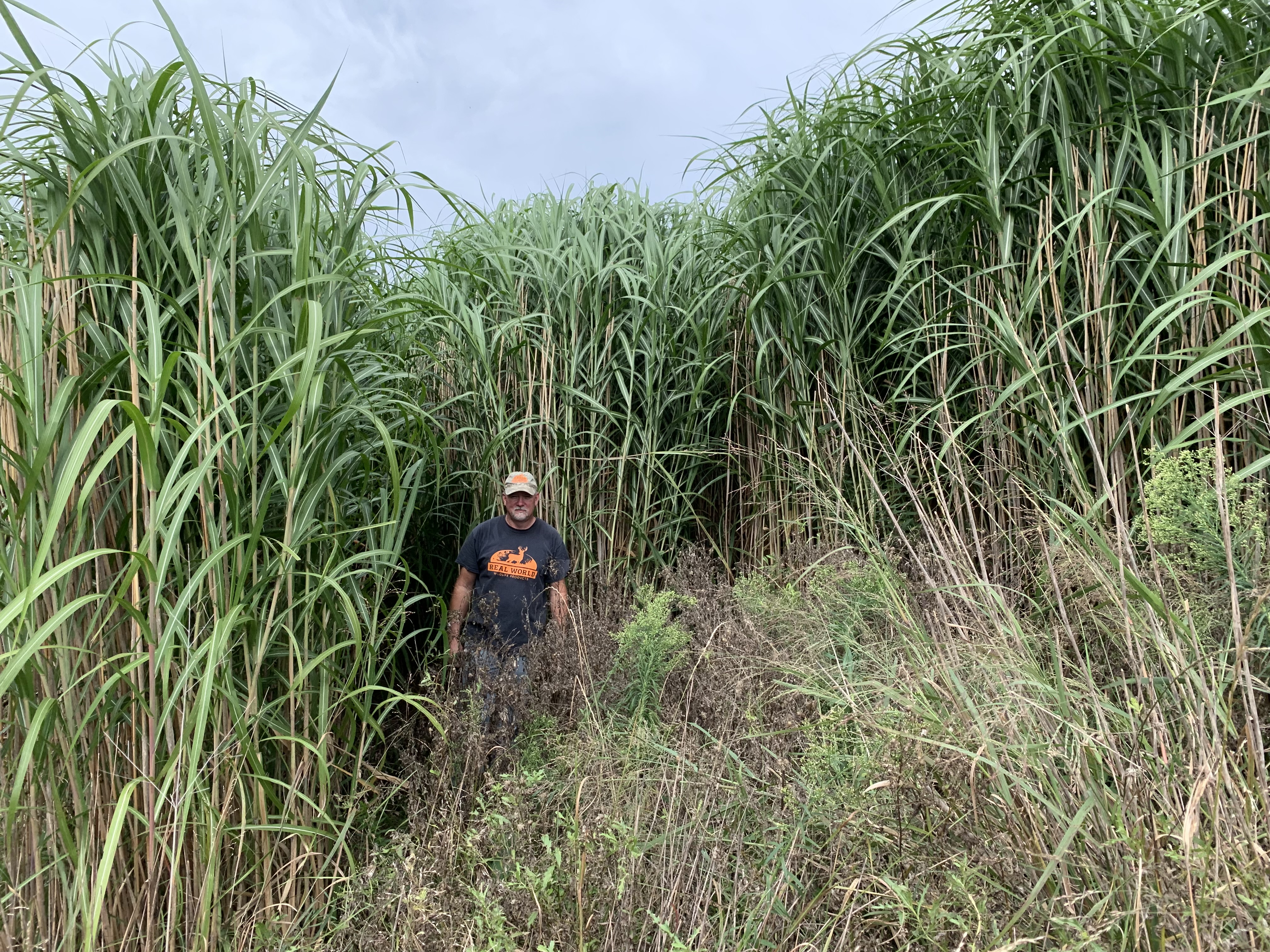 Real World Giant Miscanthus Grass